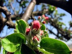 pink apple buds on the tree branch