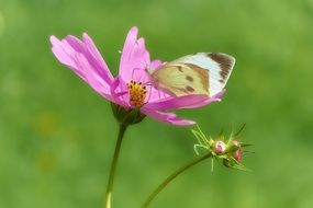 butterfly on a pink flower on a green background
