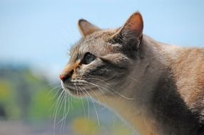 grey tabby cat, profile