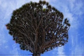 canary island dragon tree sky view