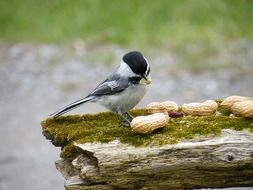 tit pecks peanuts on a log