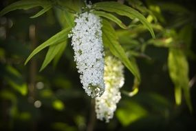 oblong white flowers on a branch