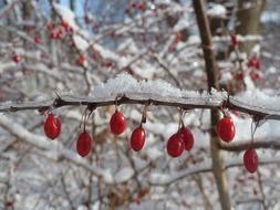 red berries are on a tree branch