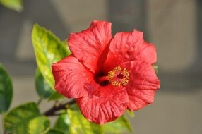 hibiscus mallow flower