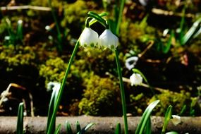 Two buds of snowdrop