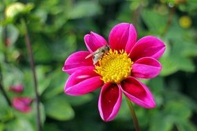 Bee on a beautiful, pink and yellow dahlia flower
