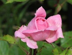 pink tender rose blossoming