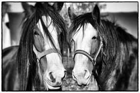 black and white photo of two horses