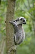tropical ring tailed lemur