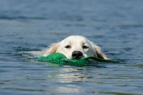 golden retriever in water close-up