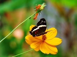 butterfly on a yellow flower in Guatemala