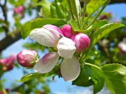 pink-white buds on a garden tree in spring