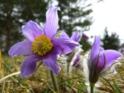 purple common pasque flower
