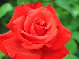 romantic red rose blossom in the garden