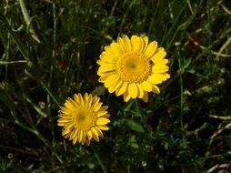 two yellow daisies in green grass
