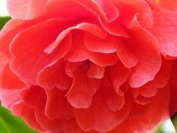 pale red lush rose close up