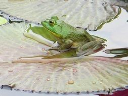Green frog on a water lily