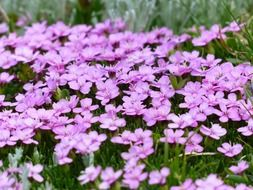 pink flowering of a primula catchfly