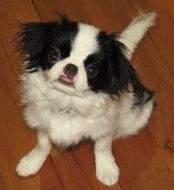 Picture of japanese chin dog