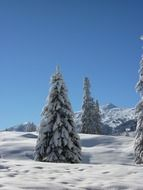 snowy firs in winter