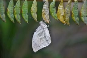 White butterfly near cocoons