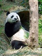 panda is eating bamboo in the reserve