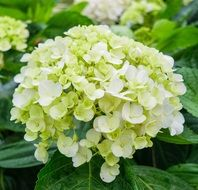 white hydrangea on a bush close up