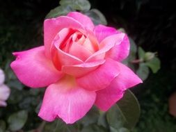 beautiful pink rose flower in nature