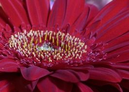 red gerbera, center of flower, macro