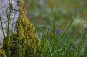 green grass and moss on birch tree