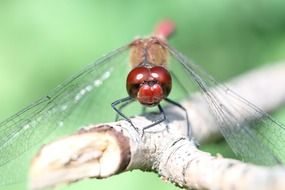 dizzy dragonfly red