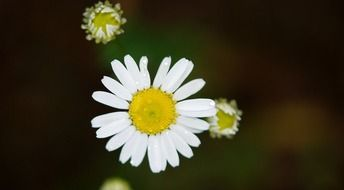 white daisy with buds