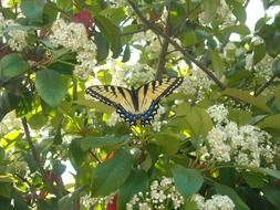 Swallowtail butterfly on blooming tree
