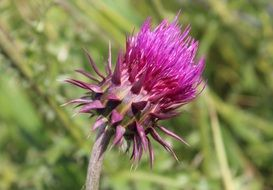 barb thistle spiny