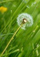 bloomed dandelion in the grass