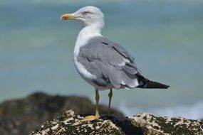 gray sea gull close