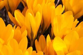 yellow crocus buds