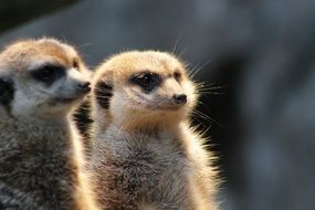 Two furry meerkats
