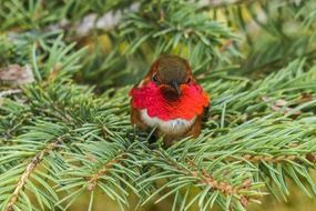 tiny allens hummingbird in wildlife