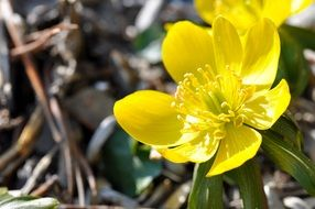 potentilla yellow flower signs of spring