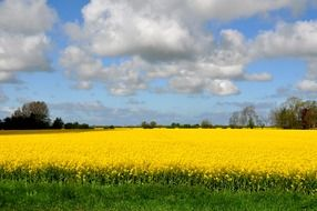 Bright yellow rapeseed field on a sunny day