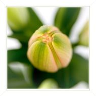 closed lily bud