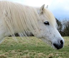 white pony with a long mane