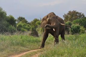 African elephant in nature