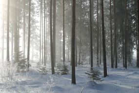 morning sun rays at winter forest