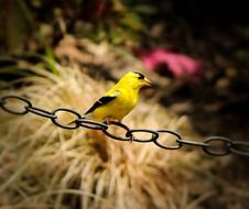 american goldfinch sits on a chain
