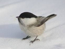 Close-up of the bird in winter