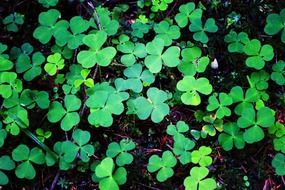 green clover leaves