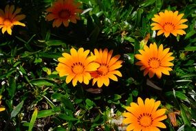 yellow orange gazania flowers
