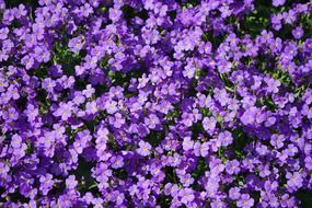 blue pillow flowers violet aubrieta field